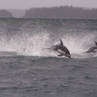 dolphins-pacific-ocean